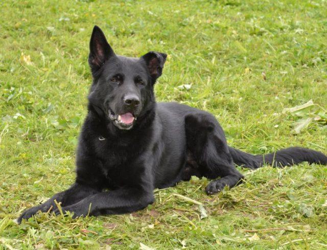 Diensthund Tyson / neun Jahre alt /Photoquelle: KaPo Luzern